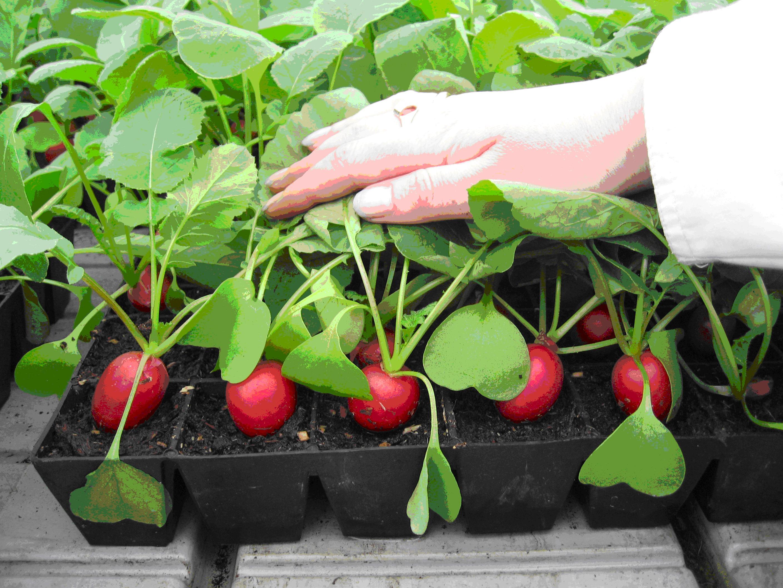 Высадка растений в открытый грунт