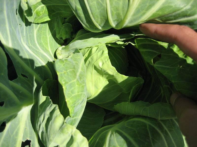 Почему у рассады капусты скручиваются листья и возникают иные проблемы? как спасти сеянцы?