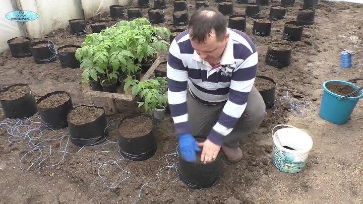 Бизнес идея выращивание помидоров в теплице с расчетами