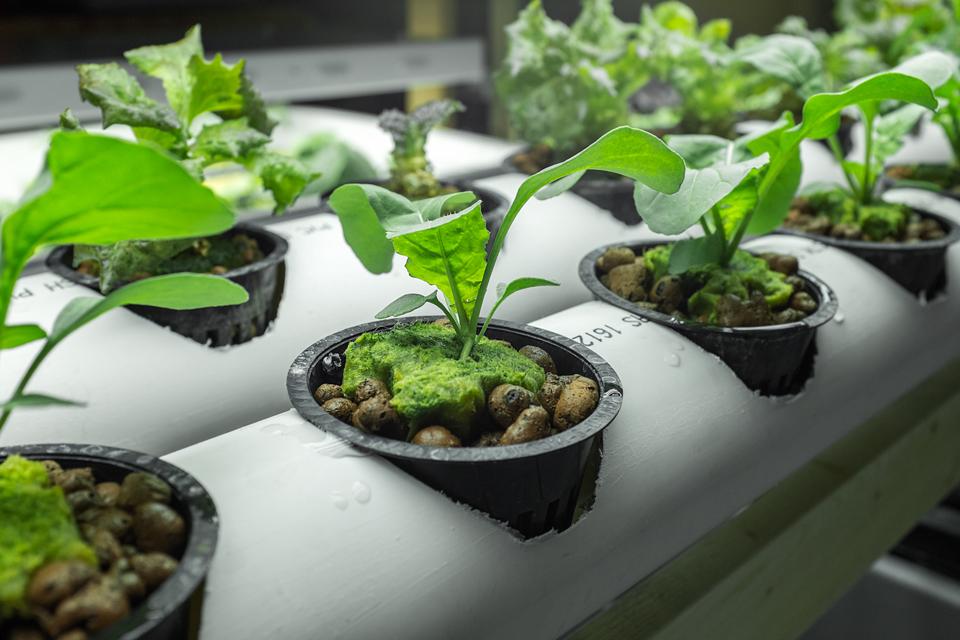 Секреты успешного выращивания рукколы на подоконнике: практичные советы для новичков