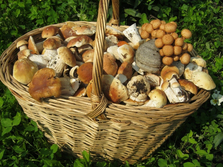 Названия съедобных и несъедобных грибов с картинками: съедобные и несъедобные, фото, видео