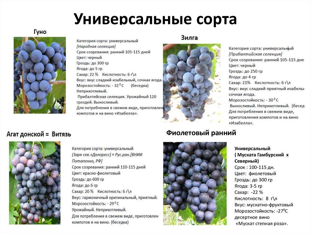 Виноград красотка: характеристика и описание сорта, уход