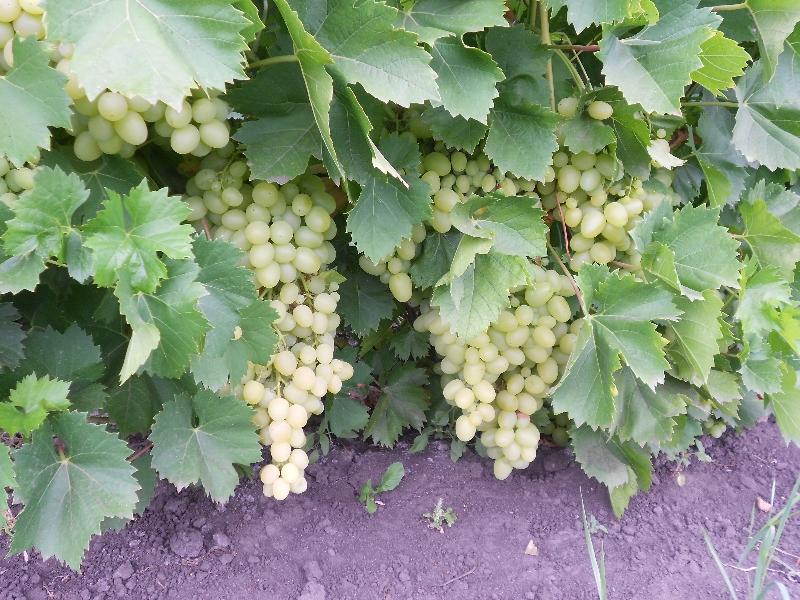 Характеристика винограда сорта мускат: белый и иные виды