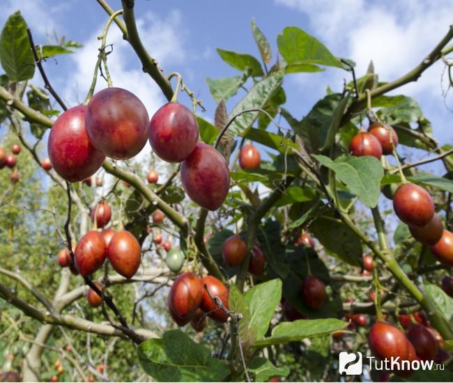 Тамарилло фрукт - выращивание томатного дерева в открытом грунте