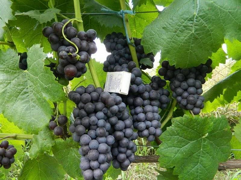 Виноград фиолетовый ранний описание сорта, особенности выращивания и отзывы
