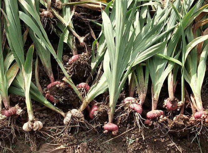 Когда можно выкапывать гладиолусы в 2021 году: благоприятные дни по регионам