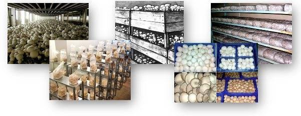 Выращивание грибов в теплице: разведение шампиньонов и вешенки