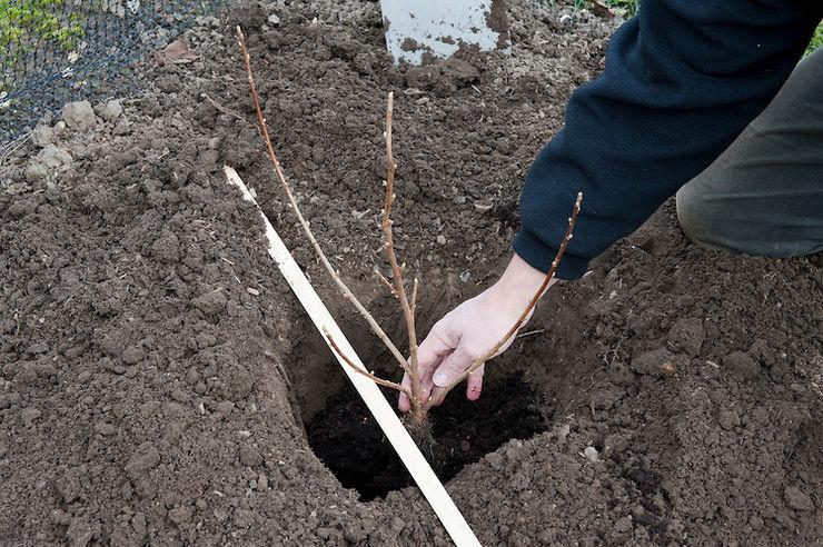 Выращивание облепихи: тонкости посадки и ухода за растением