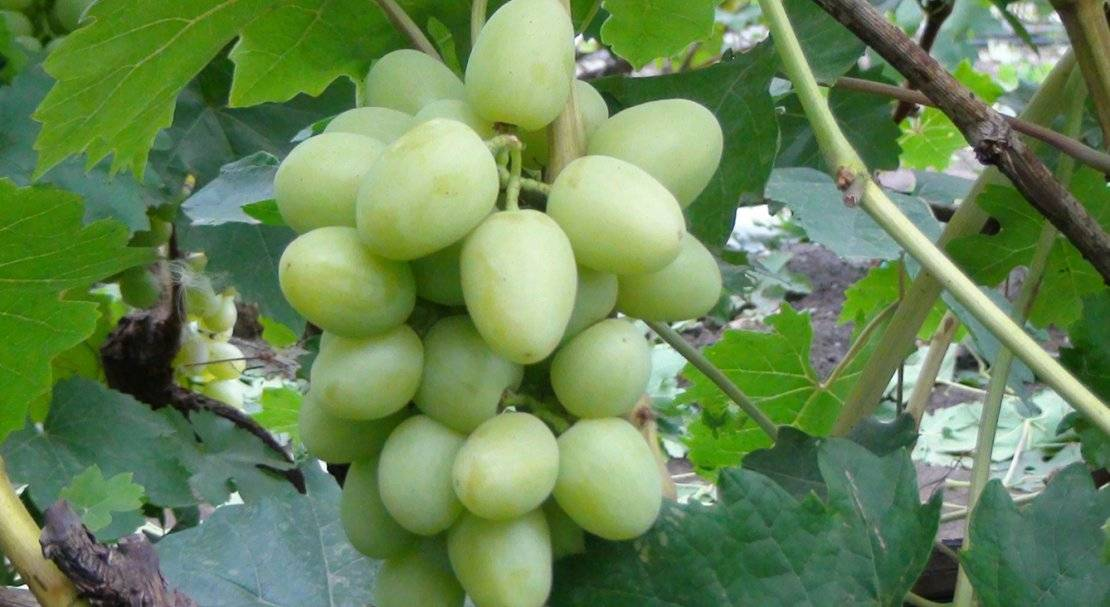 Виноград арочный: описание сорта с характеристикой и отзывами, особенности посадки и выращивания, фото