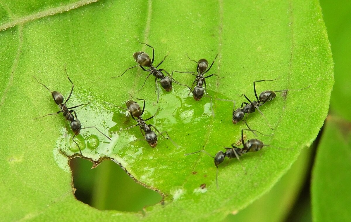 Муравьи на капусте - способы борьбы народными способами