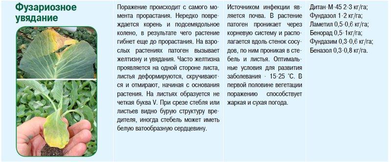 Болезни капусты: фото и описание, вредители