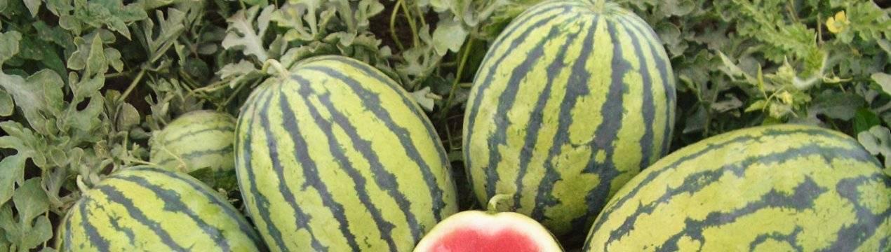 Арбуз продюсер: описание сорта, характеристика и выращивание с фото