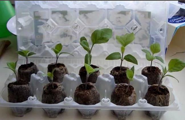 """Рассада томатов – посадка и выращивание от """"а"""" до """"я"""" – 4 сезона огородника"""