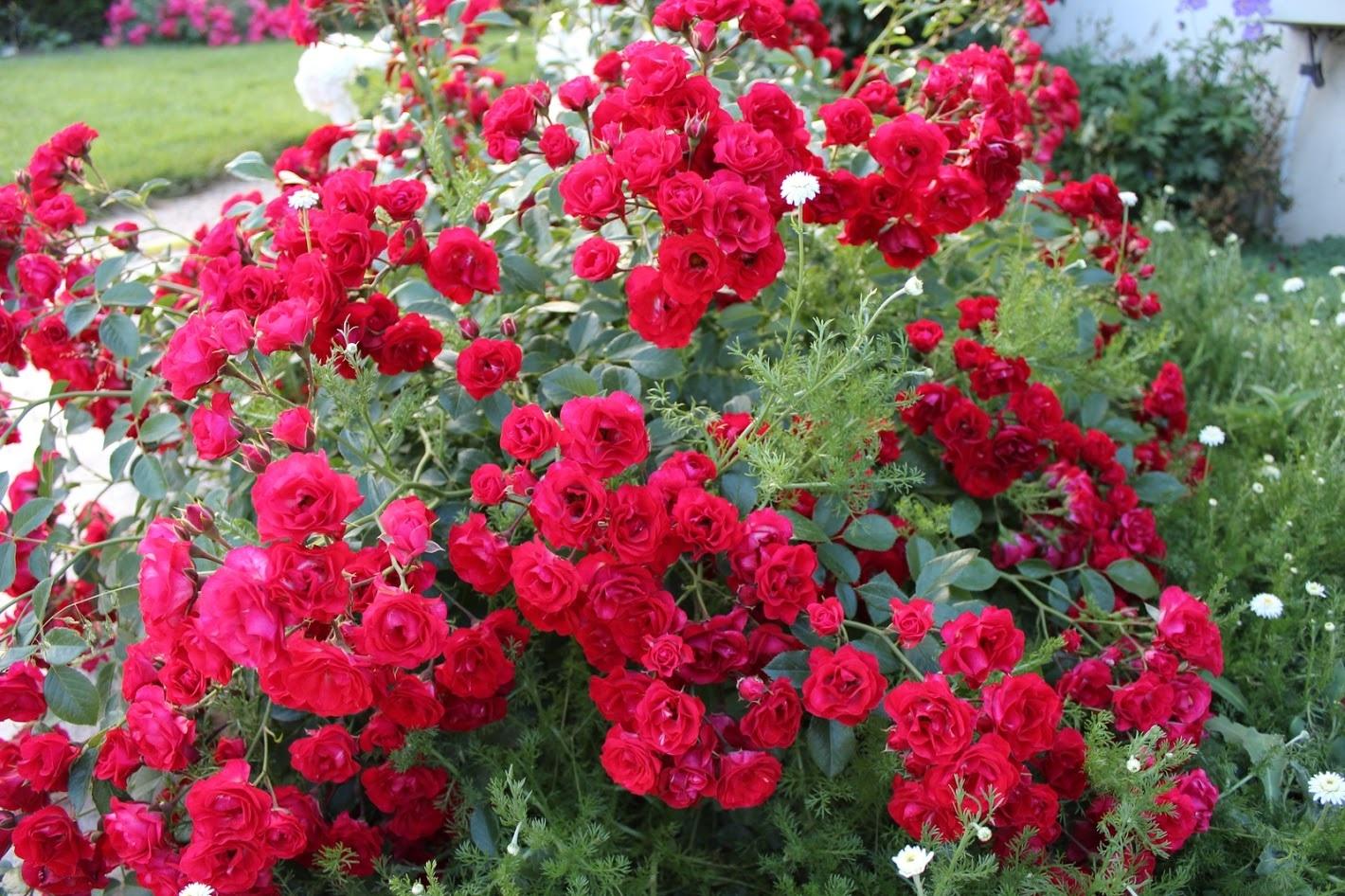 Почвопокровные розы: сорта, фото с названиями и описанием почвопокровные розы: сорта, фото с названиями и описанием