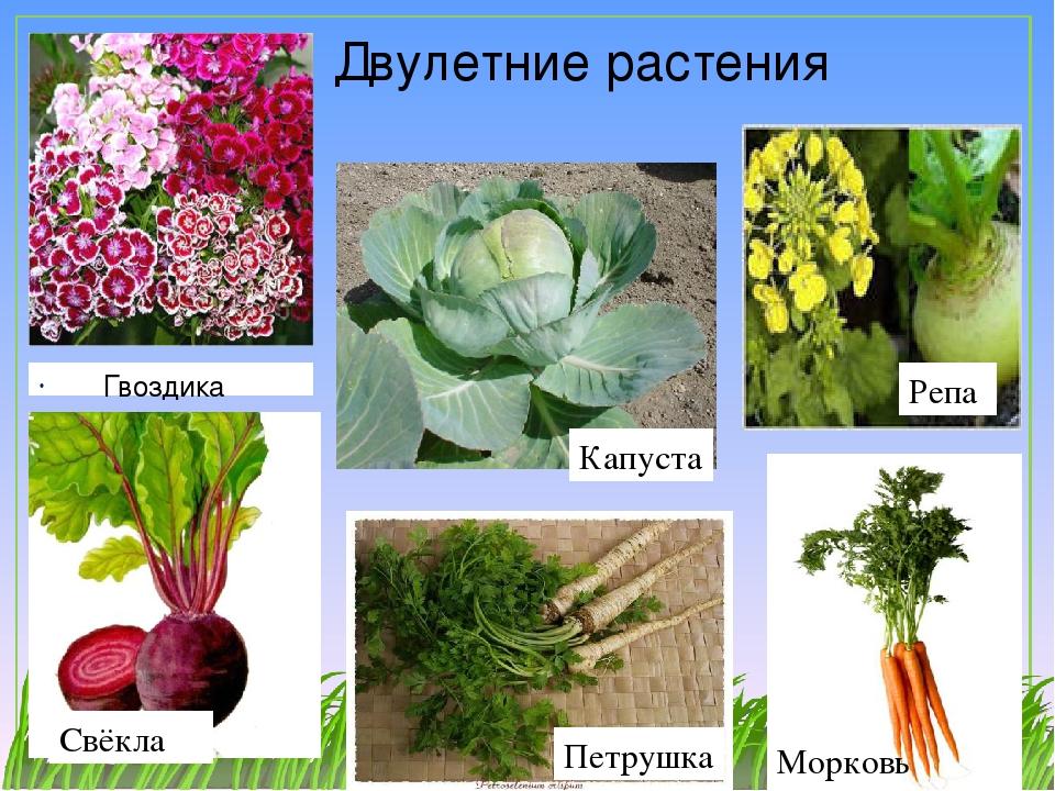 Лучшие виды и сорта зелены для открытого грунта: фото и описание сортов петрушки, кинзы и других растений