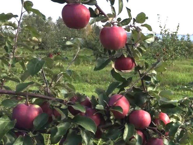 Посадки и уход за яблоней сорта коваленковское