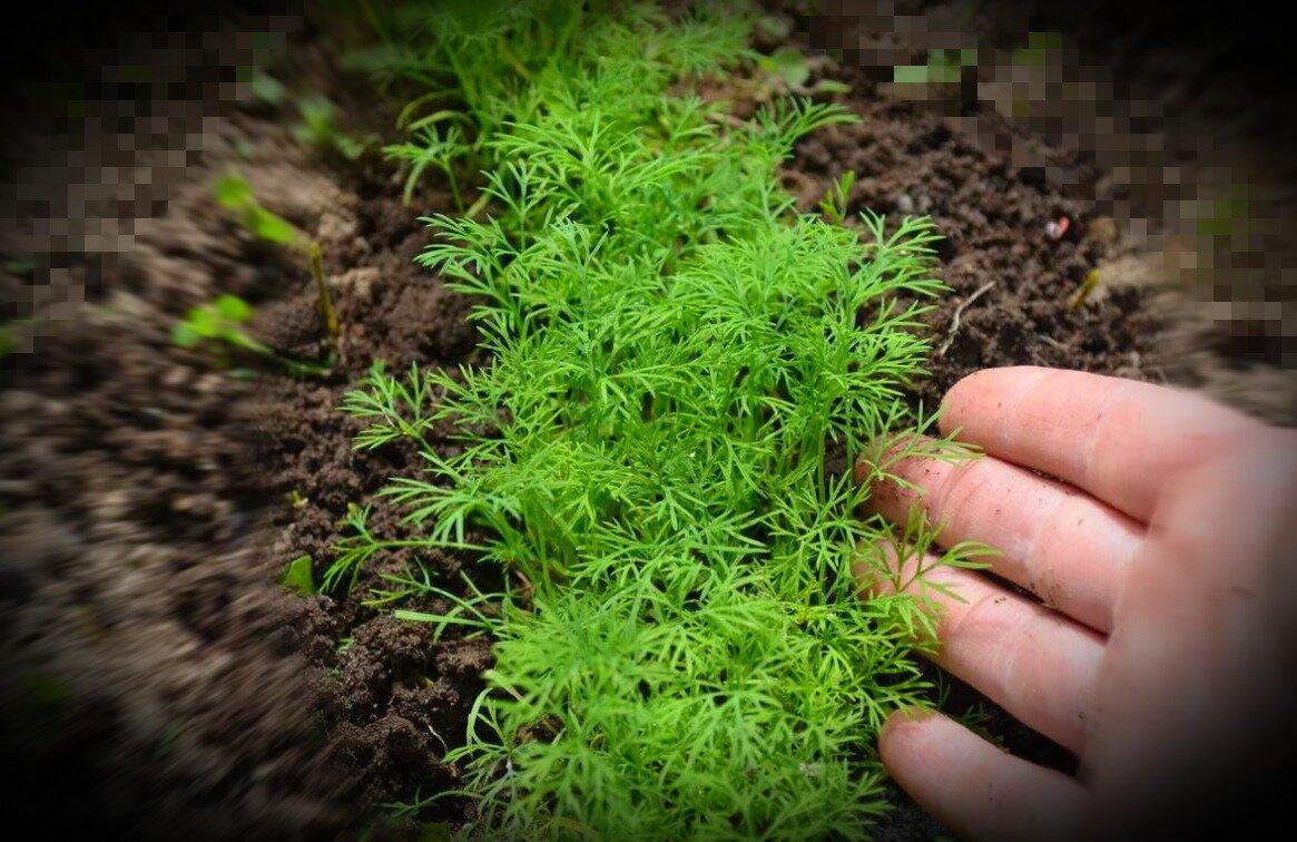 Укроп под зиму: когда сажать, как правильно сеять