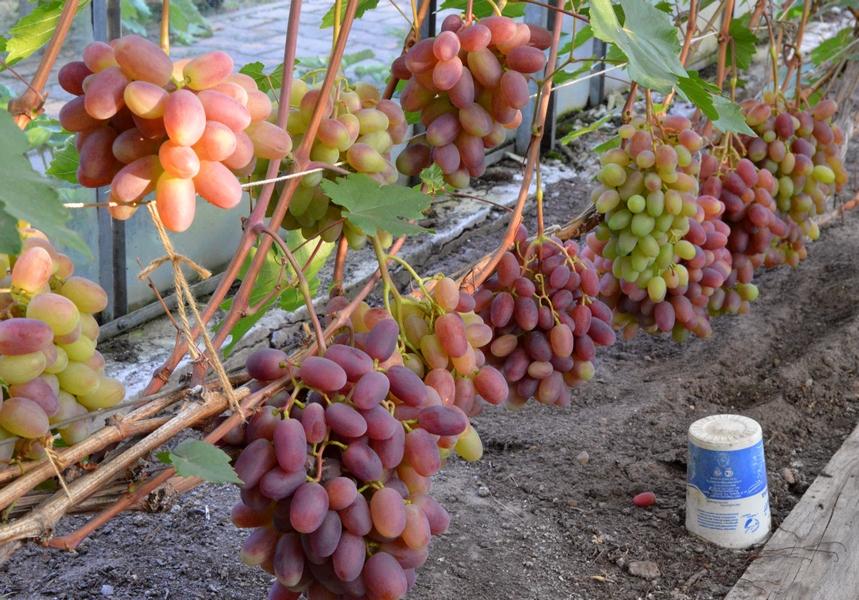 Виноград с крупными гроздьями преображение, внешние признаки и агротехнические рекомендации
