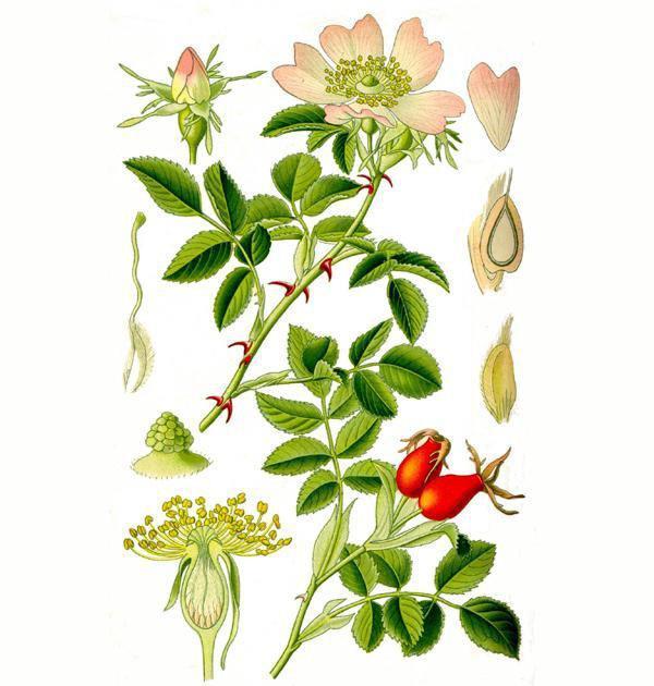 Шиповник: выращивание в саду, свойства, виды