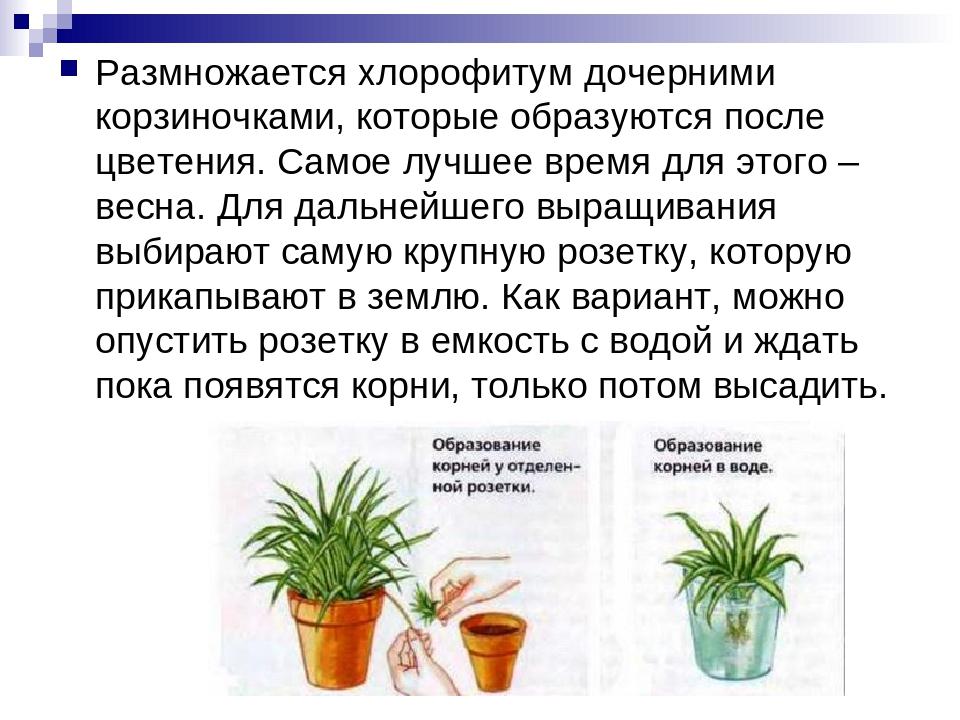 Хлорофитум (chlorophytum). правила ухода, выращивания.