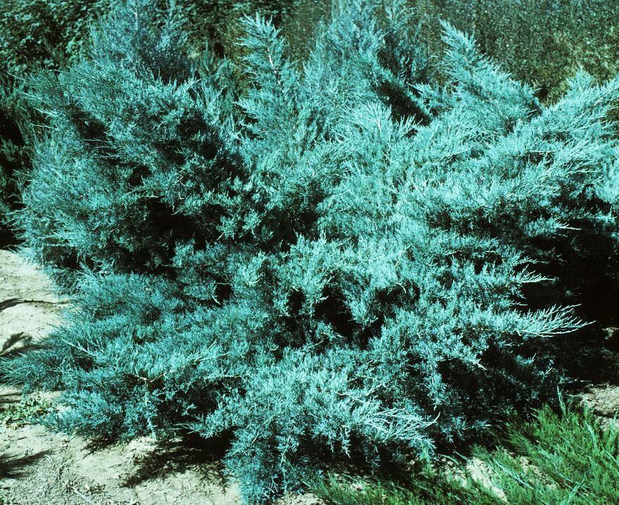 Можжевельник средний пфитцериана ауреа (juniperus chinensis (media) pfitzeriana aurea)