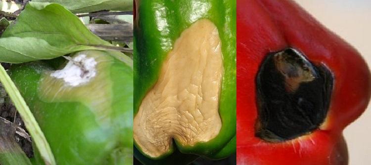 Болезни рассады перцев: возбудители, причины, симптомы (с фото), лечение