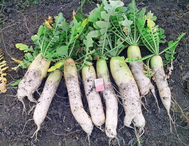 Когда выкапывать редьку с грядки и убирать на хранение: сроки сборки урожая