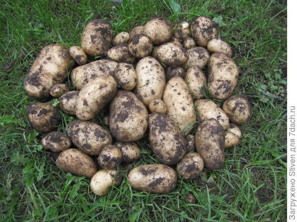 Картофель тимо (тимо ханкиян): описание сорта, фото, характеристика, отзывы   сортовед