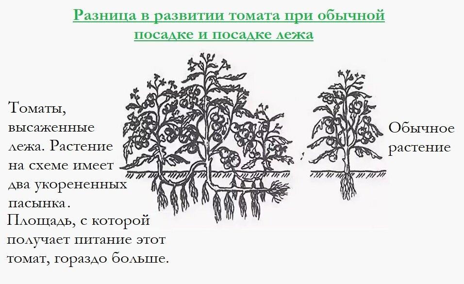 Первая подкормка рассады помидоров: когда лучше всего ее проводить, чем удобрять томаты после всходов, как это делать при уходе за овощами в открытом грунте? русский фермер