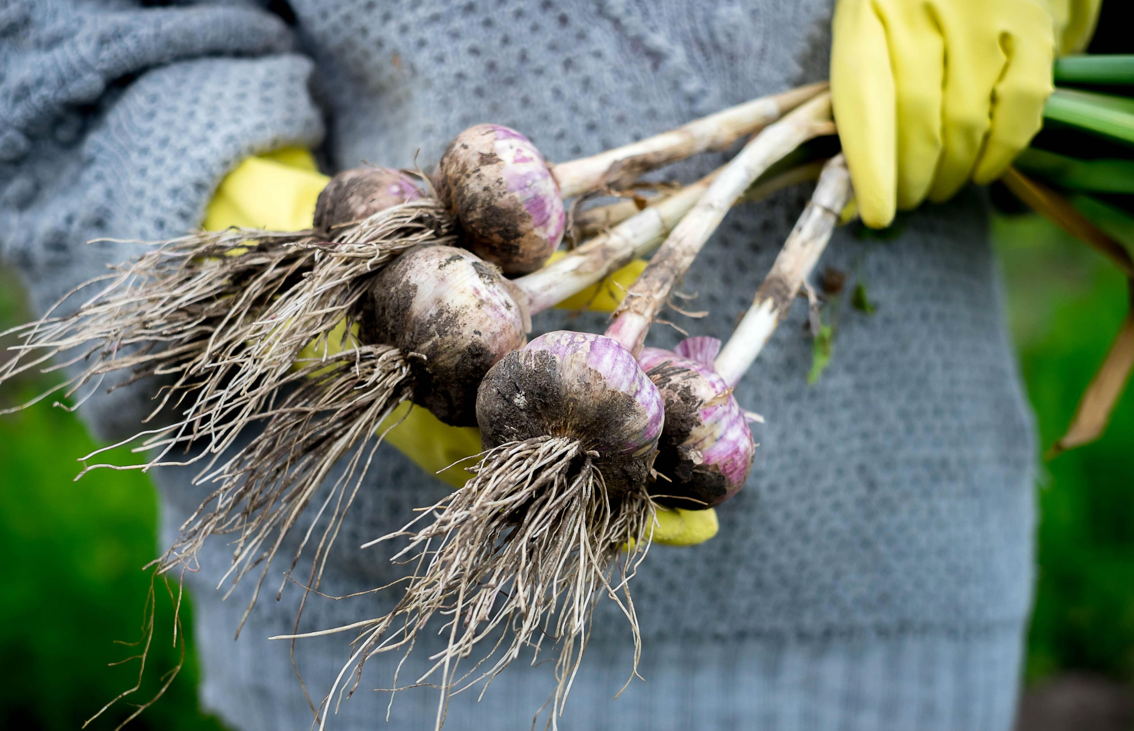 Выращиваем чеснок из бульбочек — ботаничка.ru