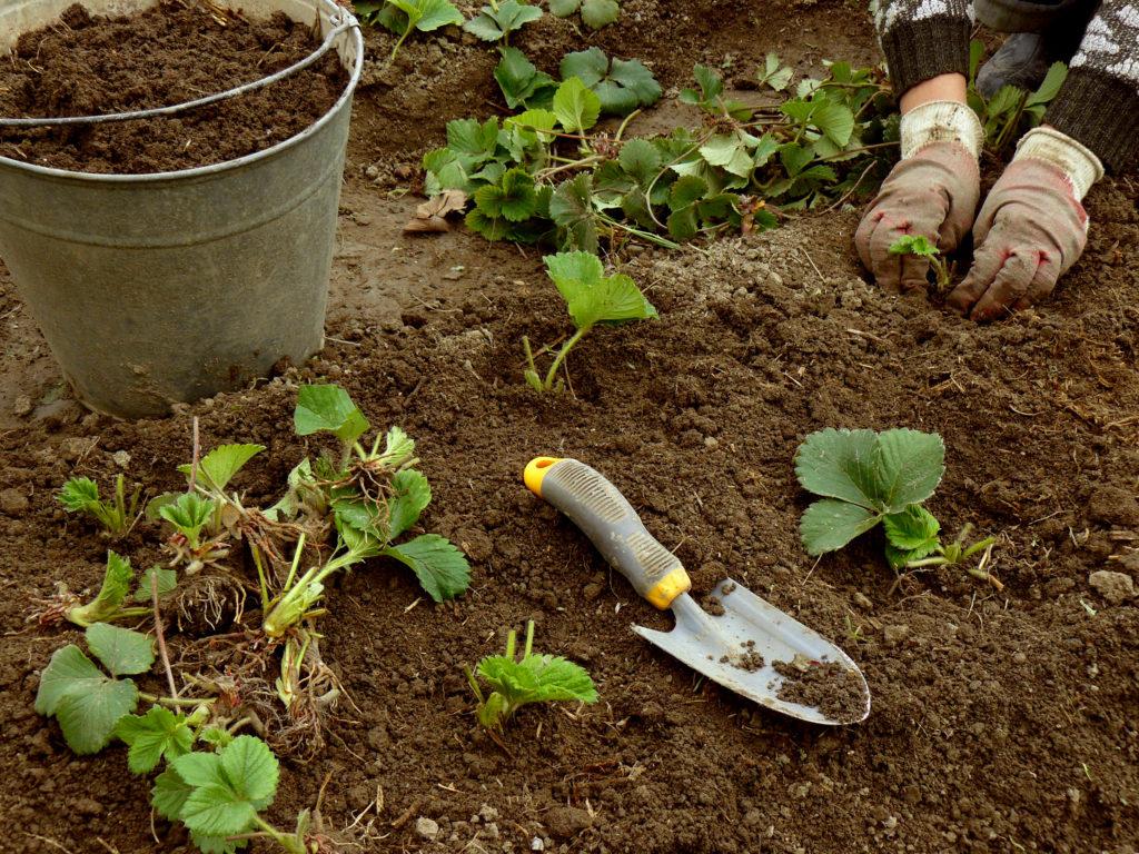 Когда пересаживать ремонтантную клубнику: уход за ягодой при выращивании