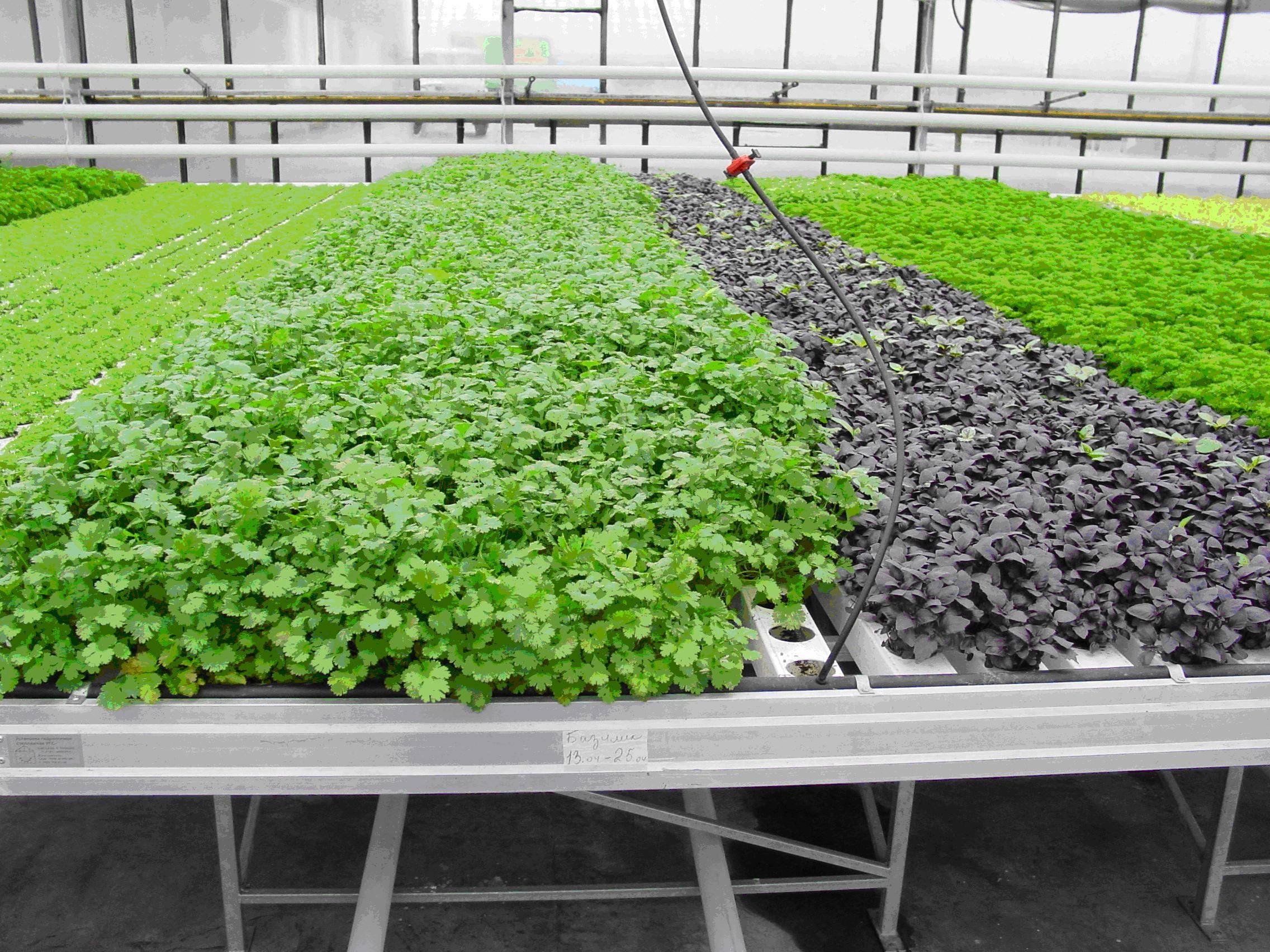 Выращивание салата-латук: как посадить семенами и другим способом, как ухаживать за урожаем и защищать от болезней и вредителей, является ли луком, а также фото русский фермер