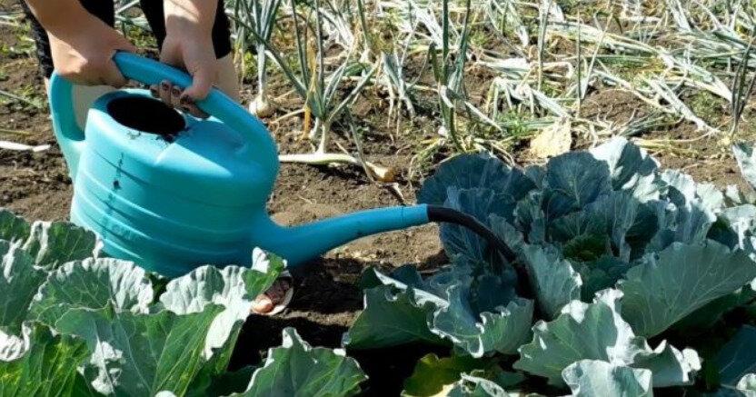Подкормка капусты народными средствами в открытом грунте