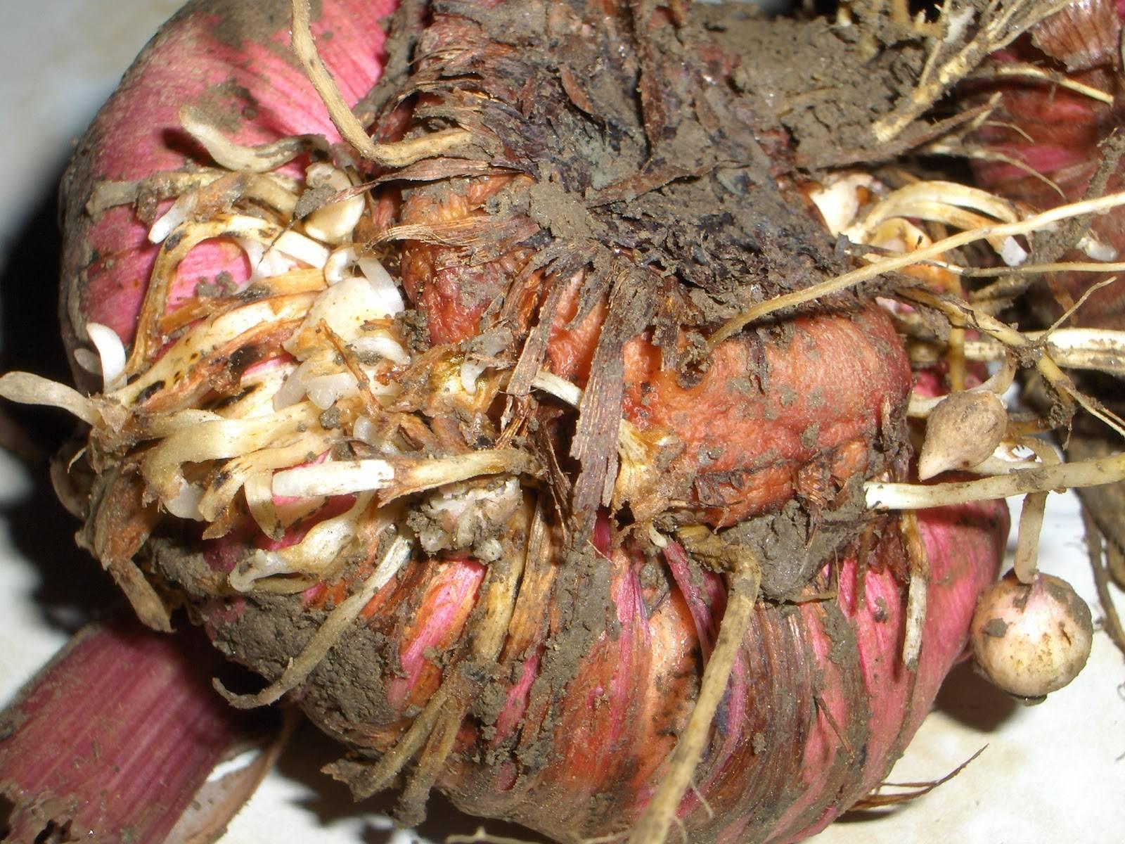 8 способов, как хранить гладиолусы зимой: в квартире, в погребе и других местах.