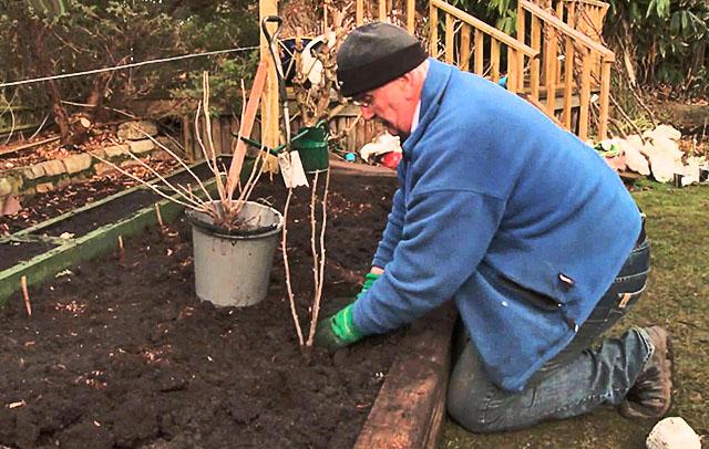Пересадка смородины на новое место: когда лучше - осенью или весной, особенности ухода