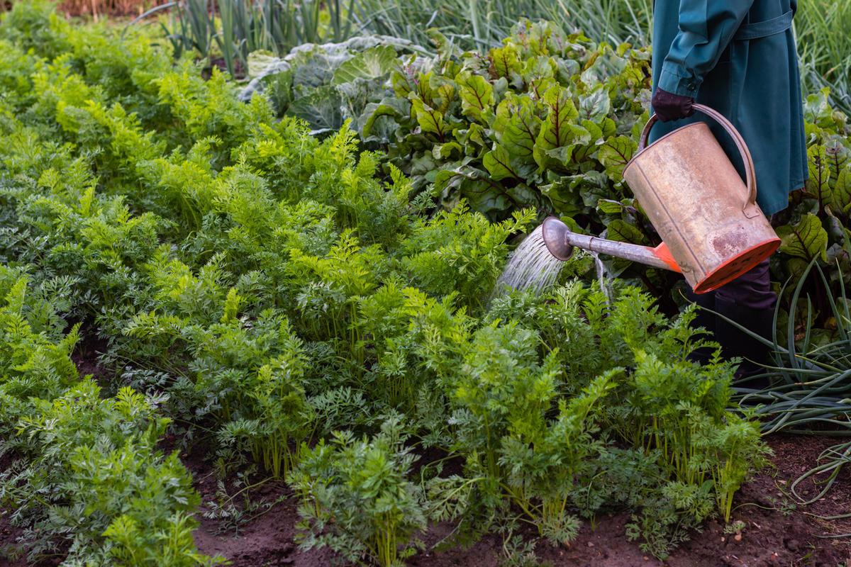 Посадка, уход и выращивание садовой брусники на дачном участке