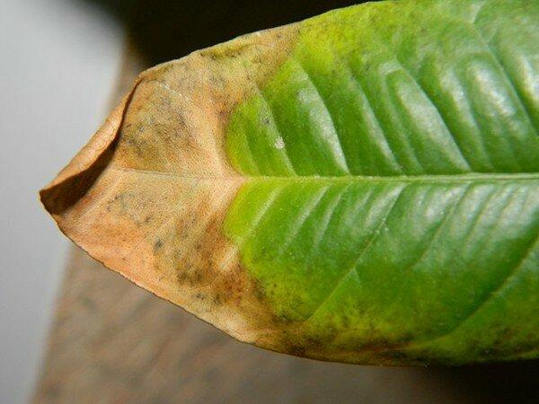 Почему у мандарина желтеют листья, причины болезни и что делать - всё про сады