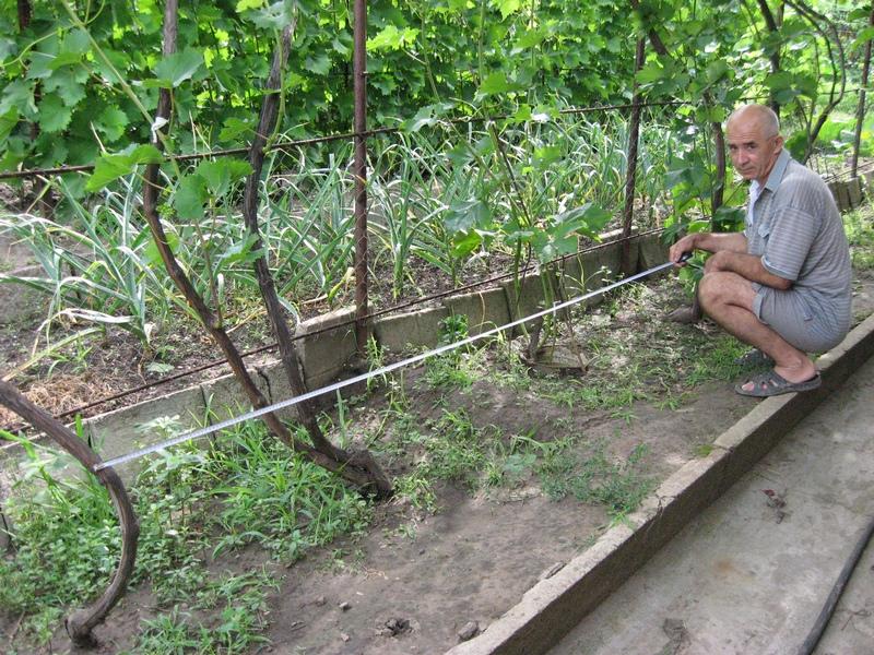 Как подвязать виноград: методы, схемы, на шпалеру, особенности