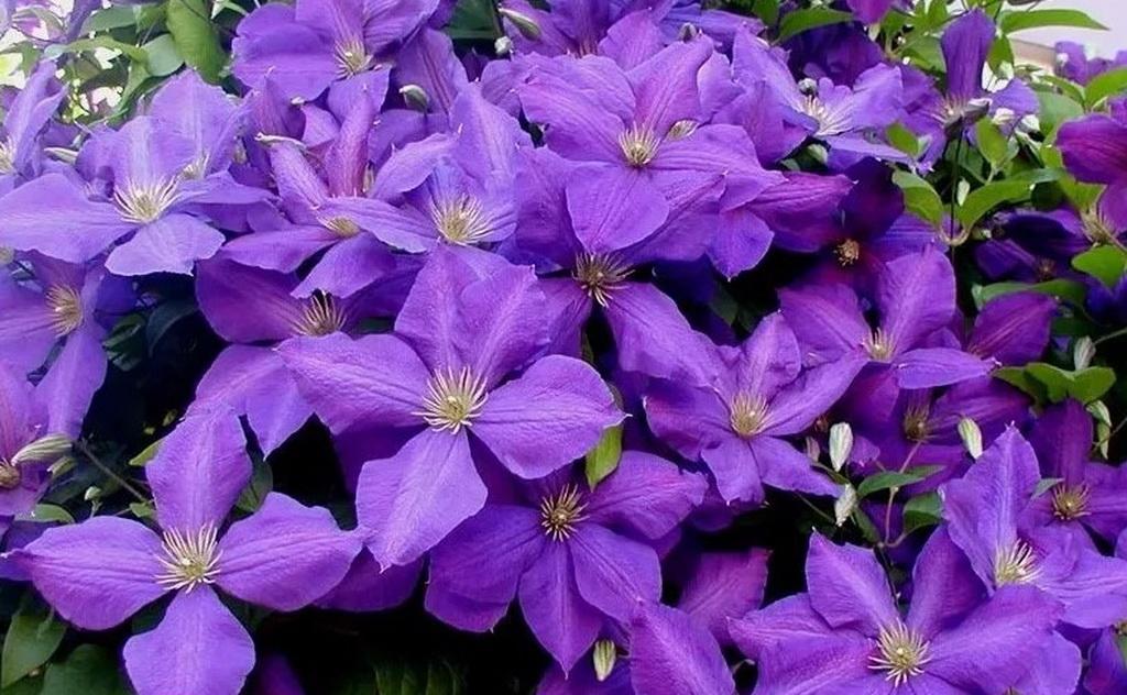 Выращивание клематисов. советы для сибири - дачный цветник