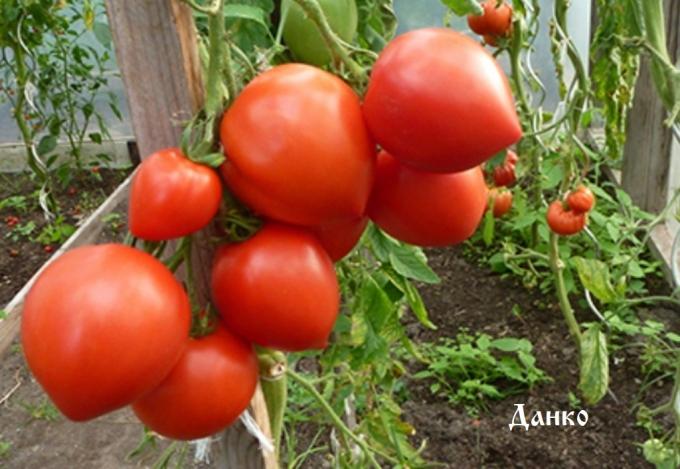 Любимый сердцевидный томат данко: описание сорта, характеристика, фото