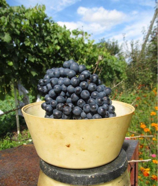 Красные сорта винограда с описанием и фото