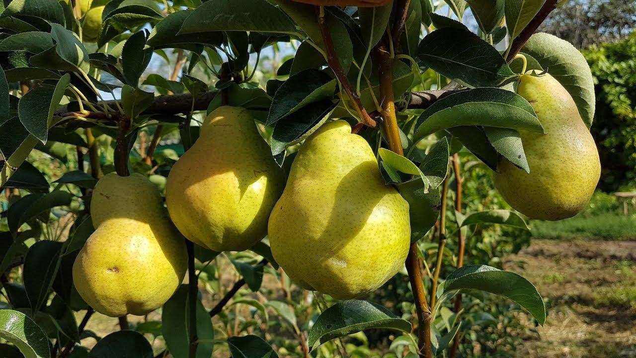 Груша пакхам: описание и характеристики сорта, особенности выращивания, отзывы