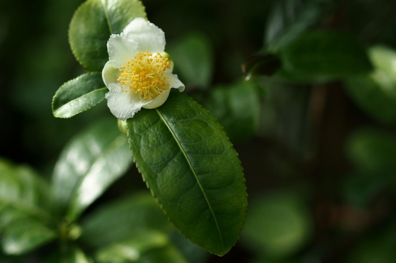 Чай или камелия китайская (camellia sinensis). уход, выращивание в домашних условиях. | floplants. о комнатных растениях