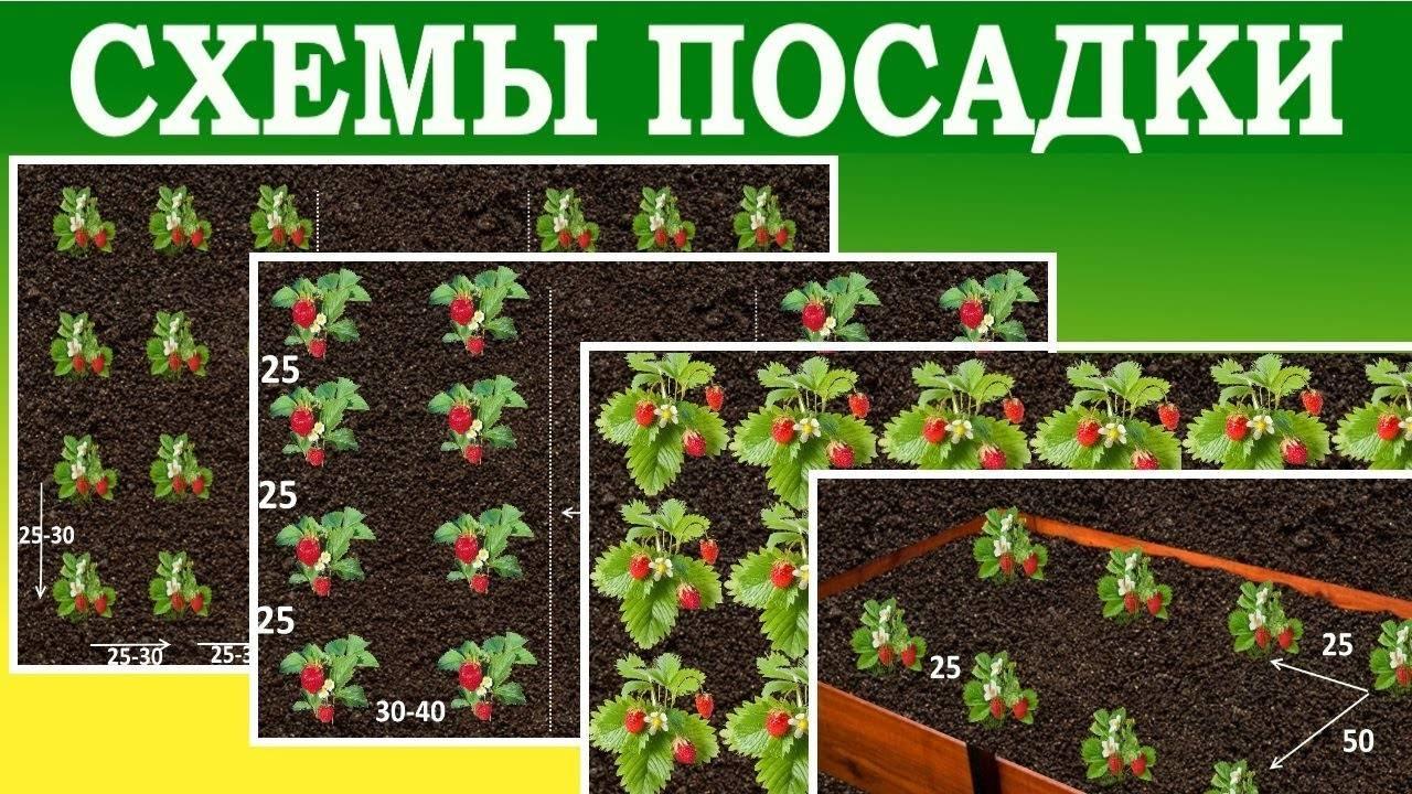 Посадка клубники на агроволокно, в том числе с капельным поливом, как правильно провести