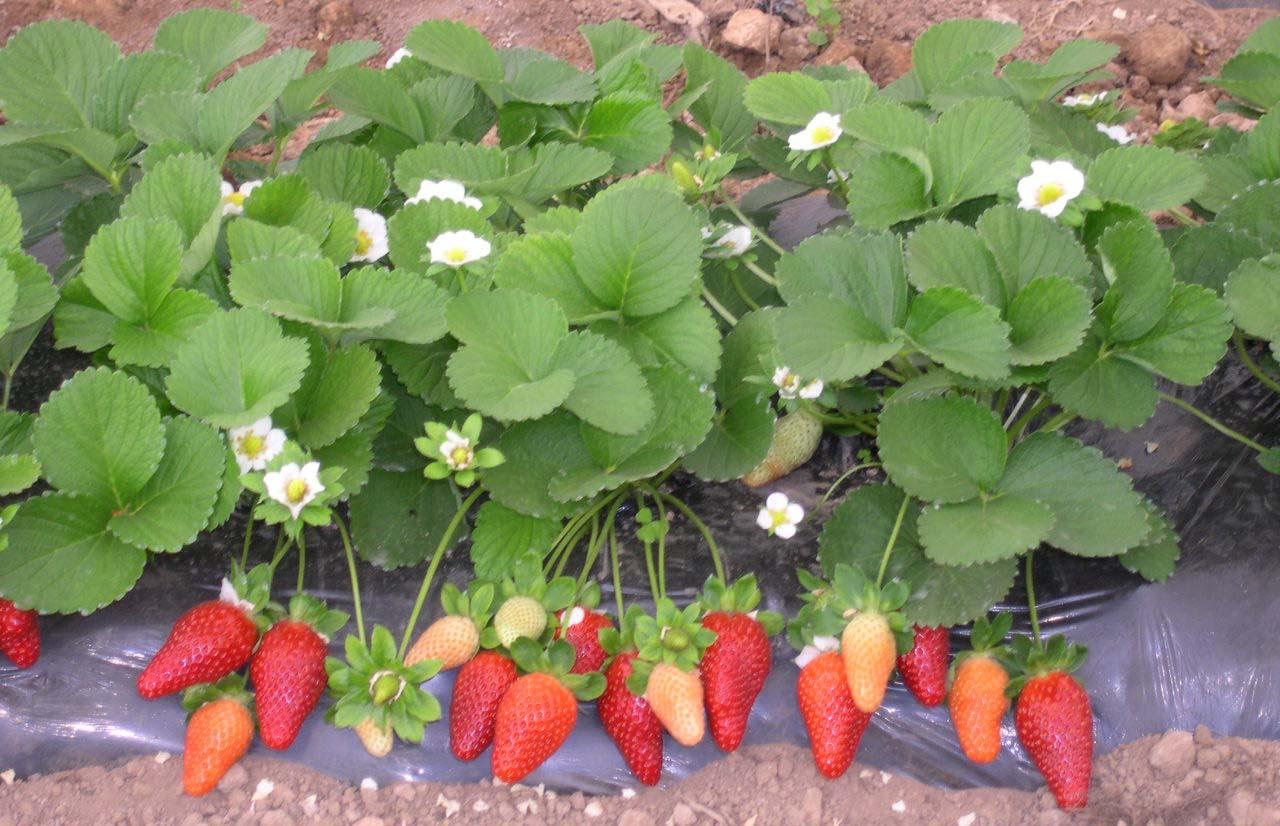 Почему не цветет клубника: 5 основных причин