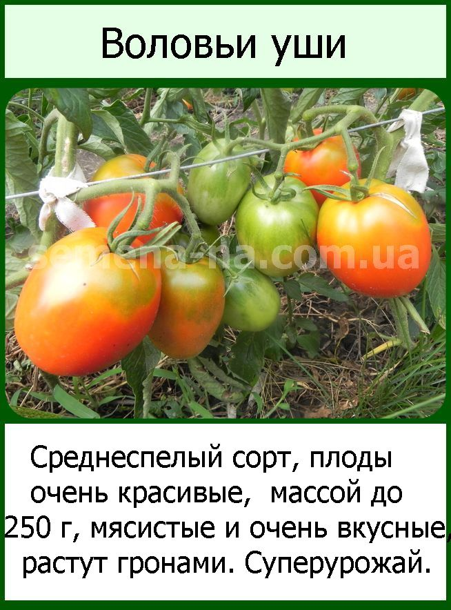 ᐉ томат воловье ухо - описание сорта, фото и характеристики - orensad198.ru
