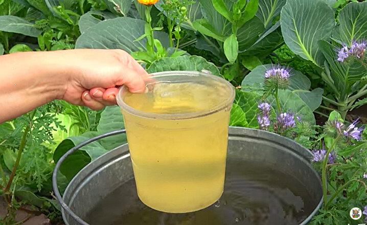 Как подкармливать капусту йодом в открытом грунте правильно?