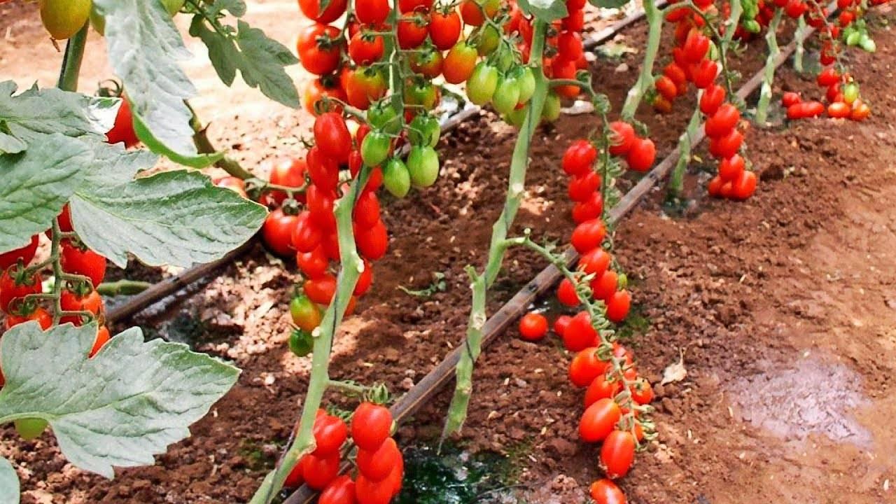 Когда и как правильно сажать рассаду помидор в теплицу, чем подкормить при посадке