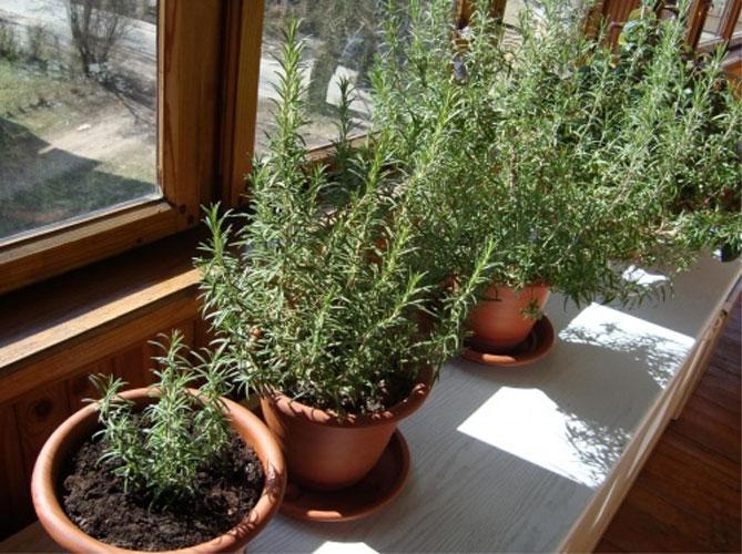 Розмарин: выращивание в домашних условиях