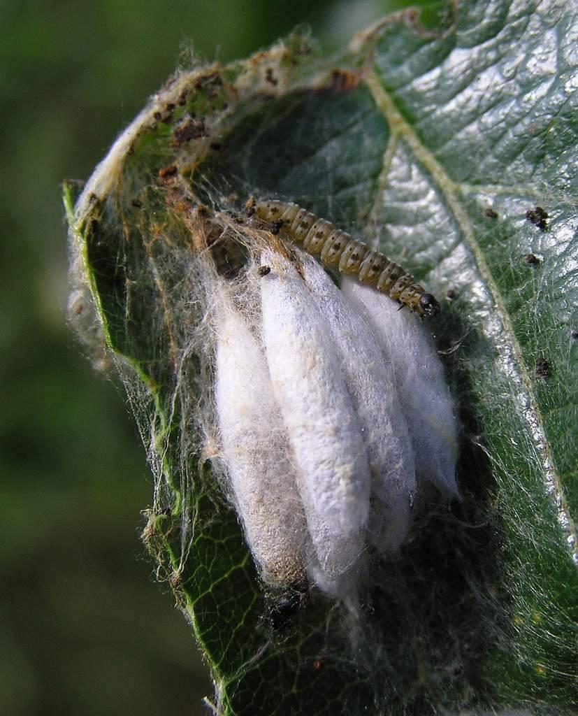 Медяница яблонная и грушевая - меры борьбы, народные методы